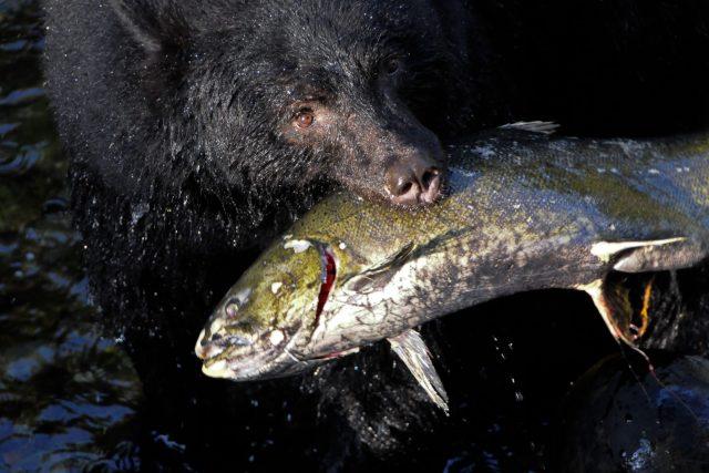 Die Region ist der Lebensraum von verschiedenen Walarten, Bären, Wölfen, Pumas und Hirschen